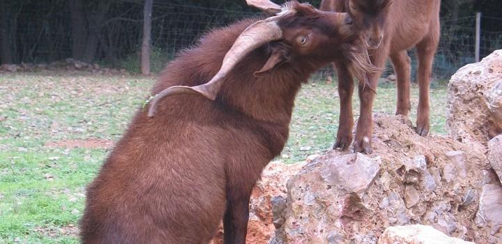 chèvres Rove sur rocher (léger)